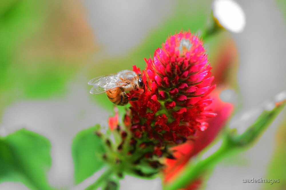 Bee in Clover by wadesimages