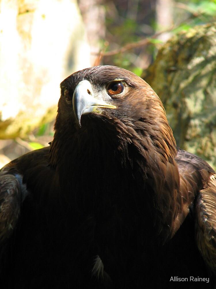 Golden Eagle by Allison Rainey