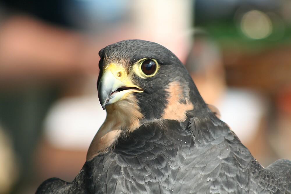 peregrine Falcon by declown