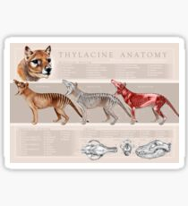 Thylacine Anatomy Poster Sticker