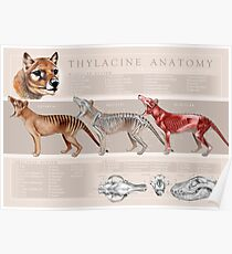 Thylacine Anatomy Poster Poster