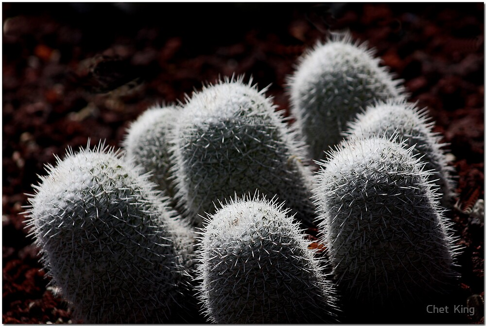 Prickly In B&W by Chet  King