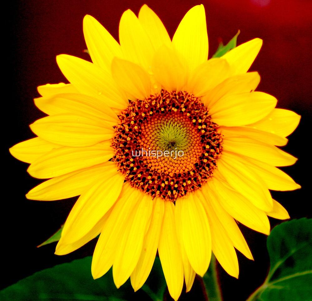 Sunflower by whisperjo
