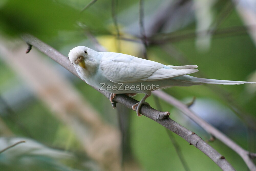 Parakeet #6 by ZeeZeeshots