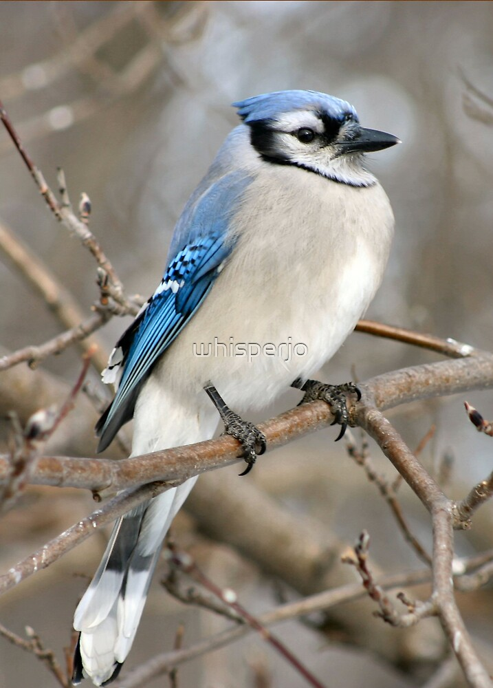 Blue Jay by whisperjo