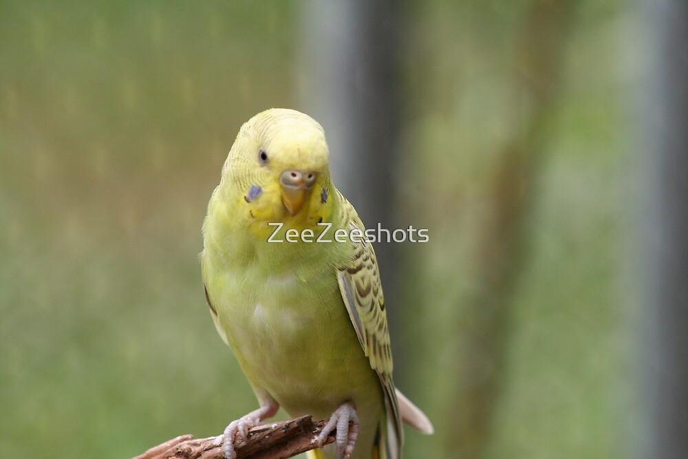 Parakeet #13 by ZeeZeeshots