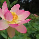 Indian Lotus. by Jeanette Varcoe.