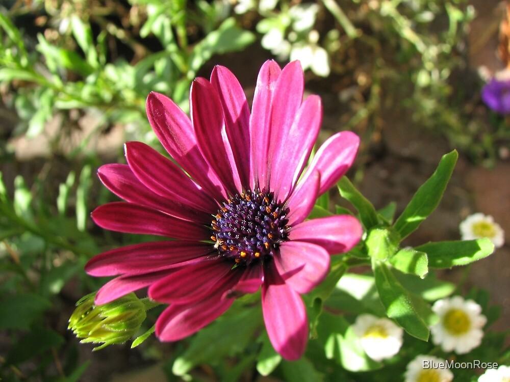 Vibrant Pink Cape Daisy Enjoying Autumn Sunshine by BlueMoonRose