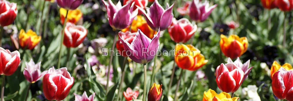 Mixed Tulips by Sharon Robertson