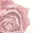 Soft Pink Dried Rose by Sandra Foster