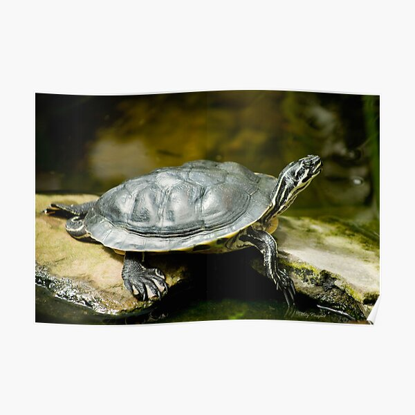 Turtle Rest Poster