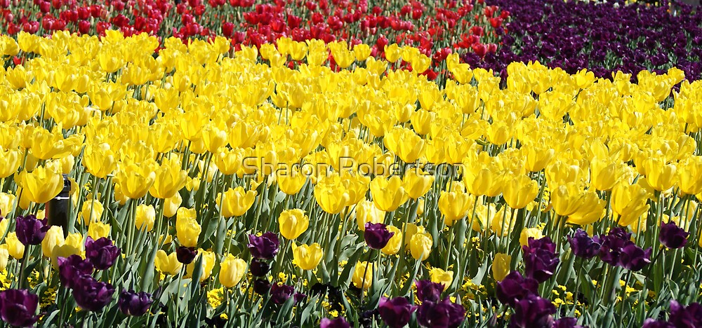 Yellow Tulip Beds by Sharon Robertson