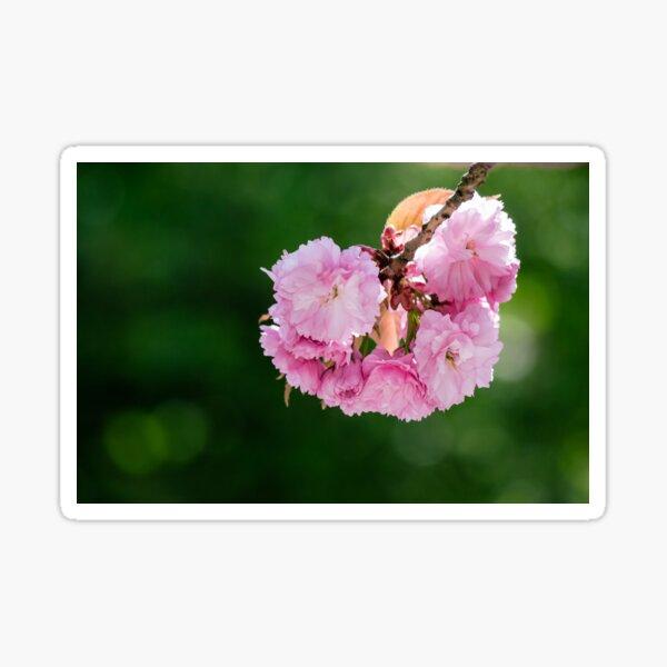 pink blossomed sakura flowers Sticker