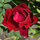 Mum's Rose # 5 by Penny Smith