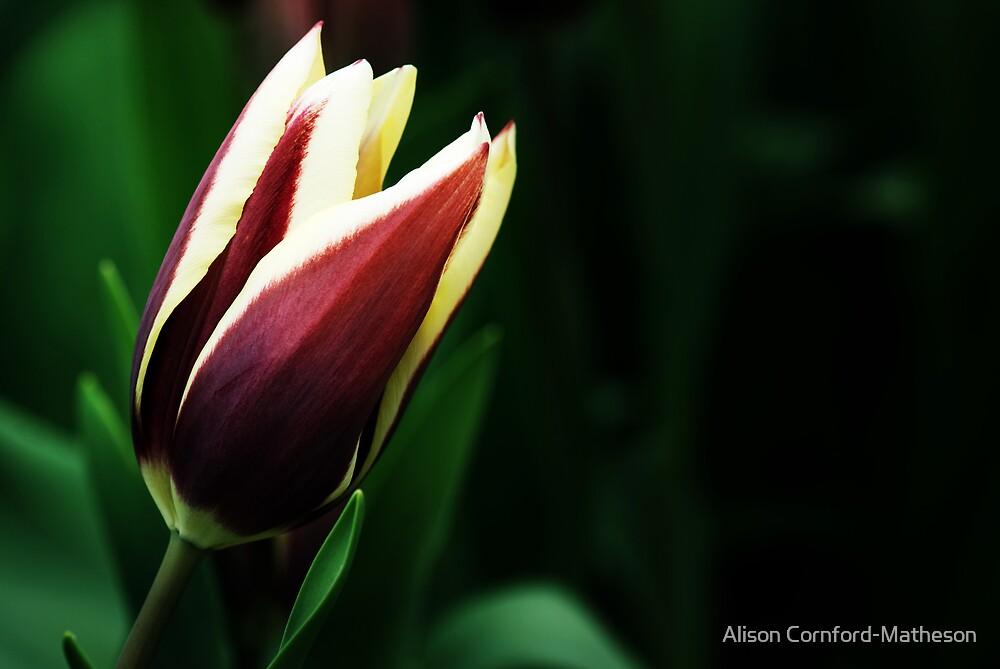 """Triumph Tulipa """"Chansonette"""" by Alison Cornford-Matheson"""