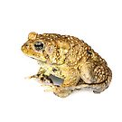 American Toad - whitebox by Dave Huth