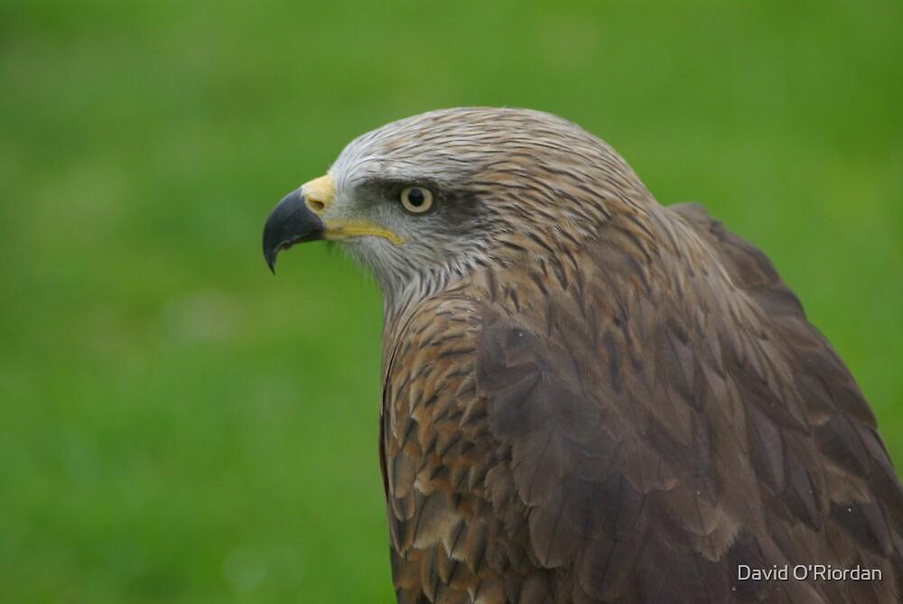 Bird Of Prey by David O'Riordan