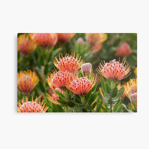Backlit Leucospermum flowers Metal Print