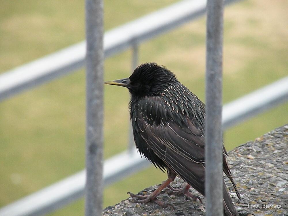 Jailbird by Tess Barnes