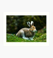 mountain hare (lat. Lepus timidus) Art Print