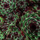 Sempervivum by BrandnerGraphic