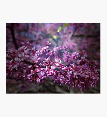 Redbud Photographic Print