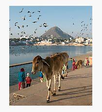 Cows at Pushkar Lake, Rajasthan, India Photographic Print