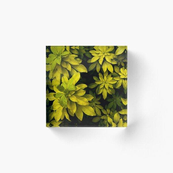 Choisya Acrylic Block