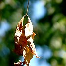 Fall Leaf  by jwawrzyniak