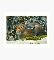 Sitting mountain hare  Art Print