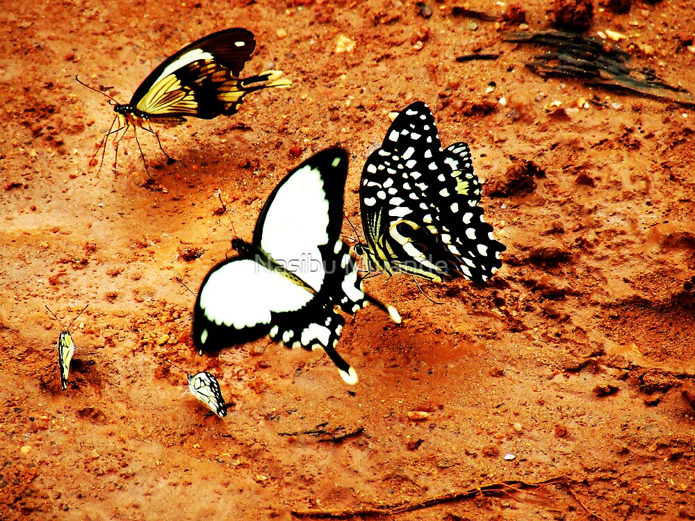 Colourful World of Butterfies1 by Nasibu Mwande