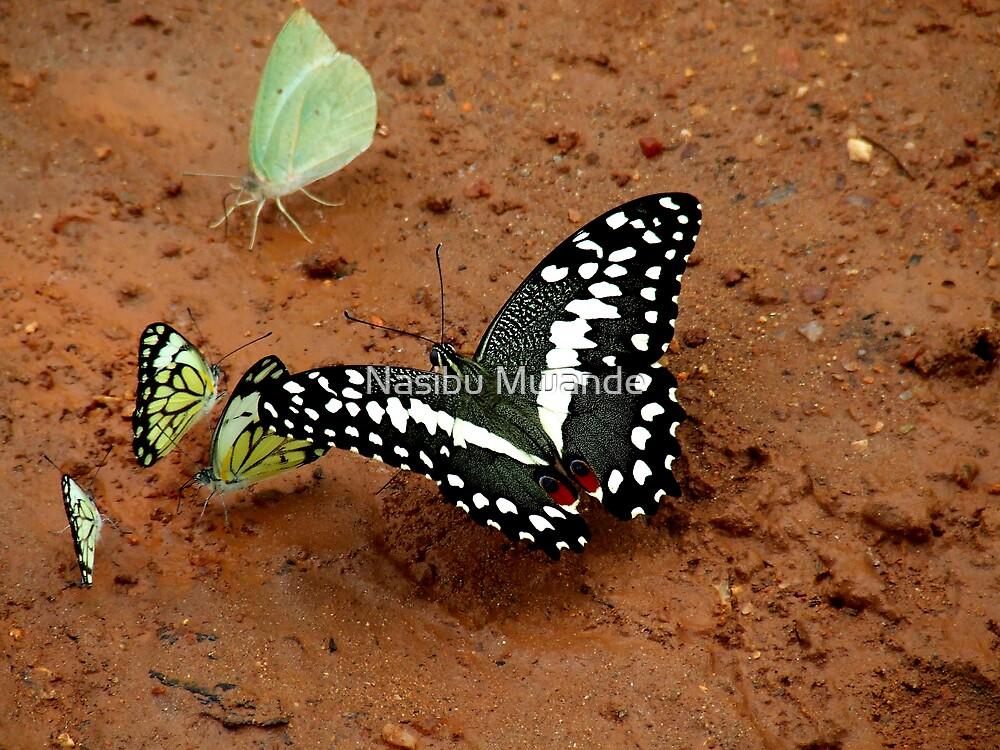 Colourful World of Butterflies by Nasibu Mwande