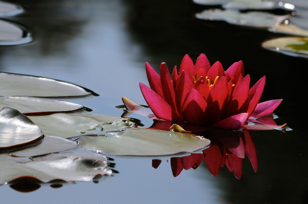 red water lily by mc27