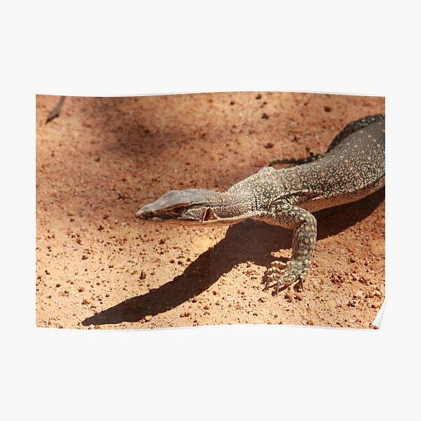 Sand goanna – Varanus gouldi Poster