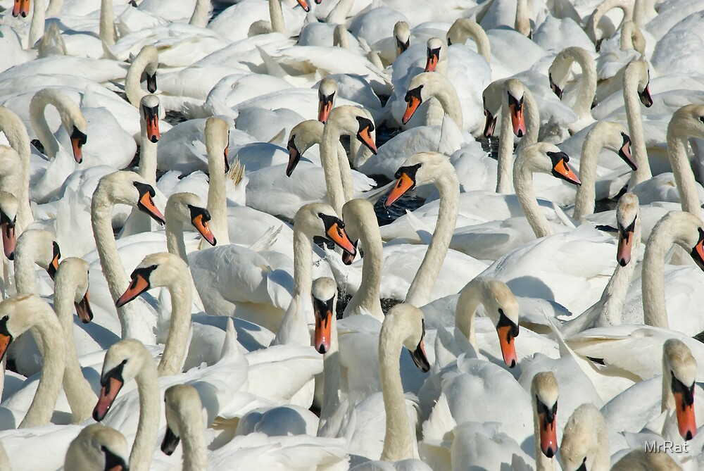 A Whiteness of Swans by MrRat