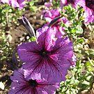 Purple Passion by CassPics