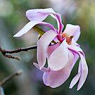 Eine Magnolie von Evita