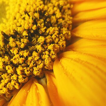 Sunflower by caladia