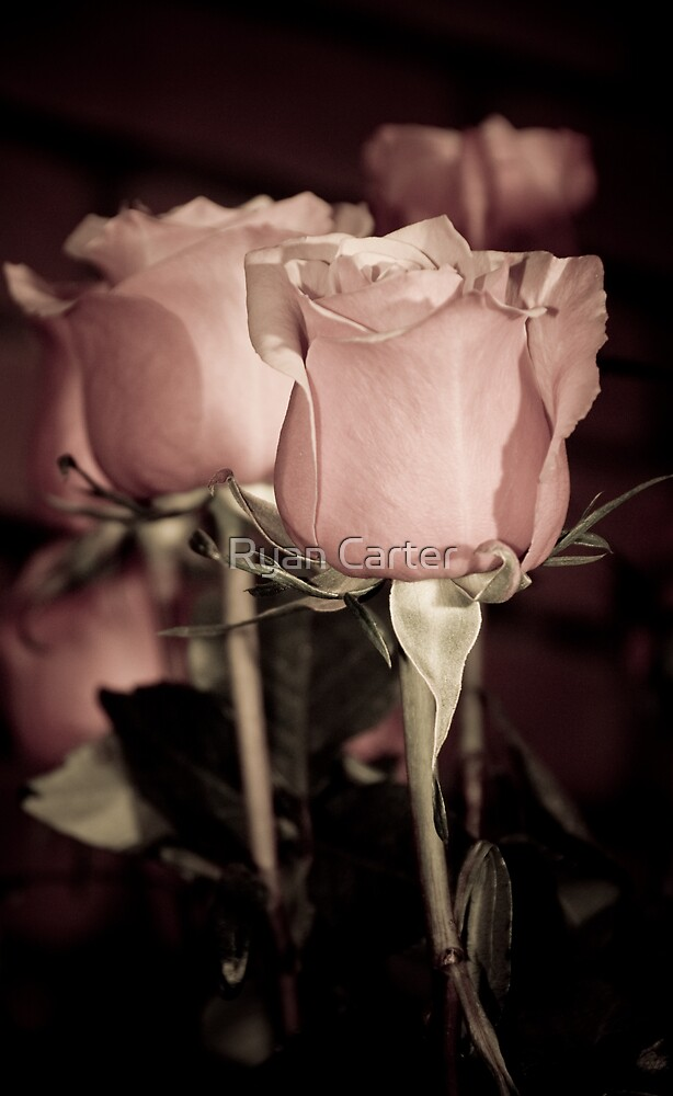 Antique Rose by Ryan Carter
