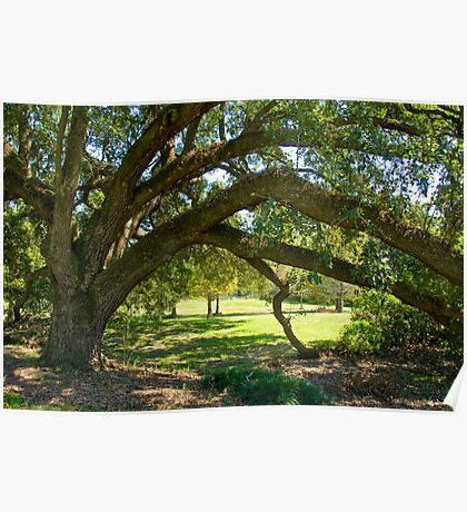 Louisiana Oak with Graceful Arch Poster