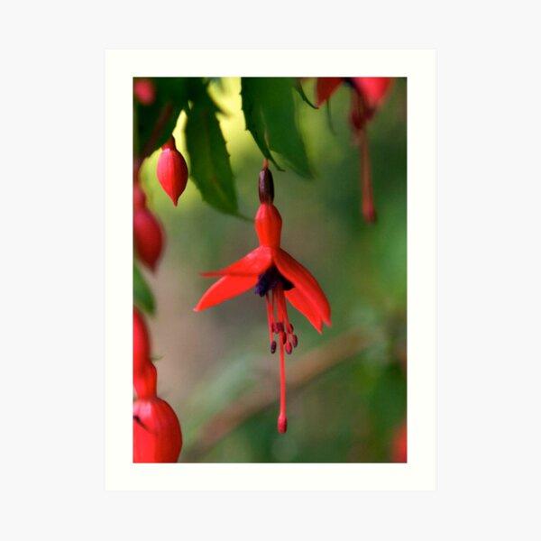 Single Wild Fuchsia Flower, Loch Na Fooey Art Print