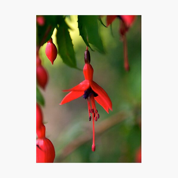 Single Wild Fuchsia Flower, Loch Na Fooey Photographic Print