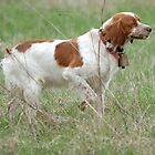 brittany spaniel pointing by marasdaughter
