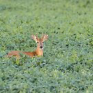 Young Buck 2017-1 by Thomas Young