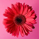 Gerbera by prbimages