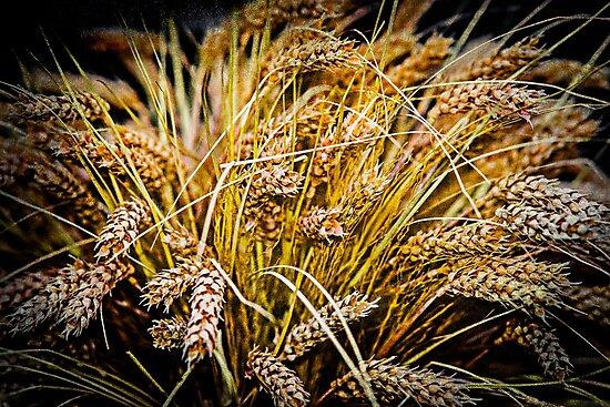 Ears Of Wheat. Thanksgiving theme by funnypixel