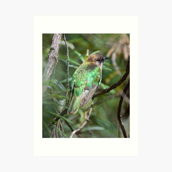 CUCKOO ~ Shining Bronze-Cuckoo by David Irwin ~ WO Art Print