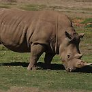 White Rhinocero by Aussiebluey
