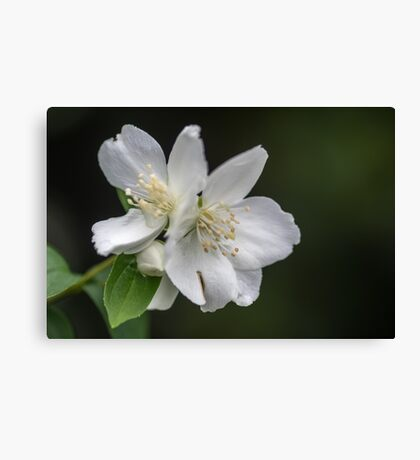 White Spring Flowers Canvas Print