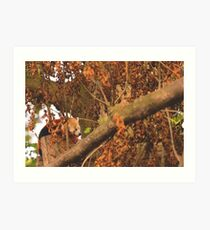 Red Panda Sleeping Art Print